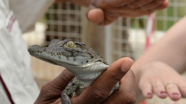 Детеныш крокодила. Архивное фото