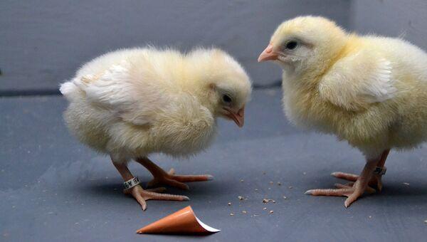 Цыплята, научившиеся различать коробки разных цветов
