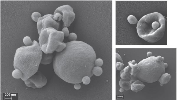 Кислотные археи, микрофотография со сканирующего электронного микроскопа