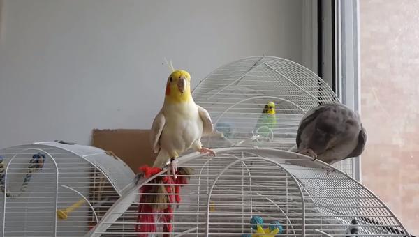 Попугаи поют тему из Игры престолов