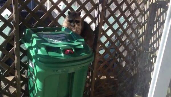 Енот крадет мусорный бак