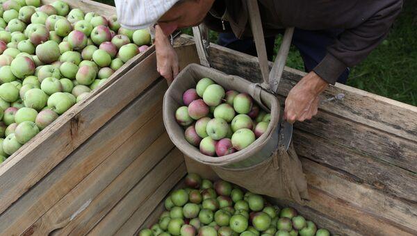 Сбор яблок. Архивное фото