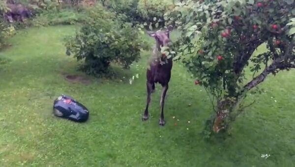 Лось против газонокосилки