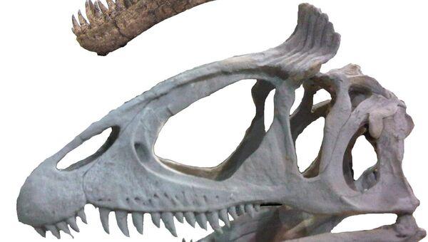 Череп двух видов тираннозавров: с «ирокезом» (снизу) и без (сверху)