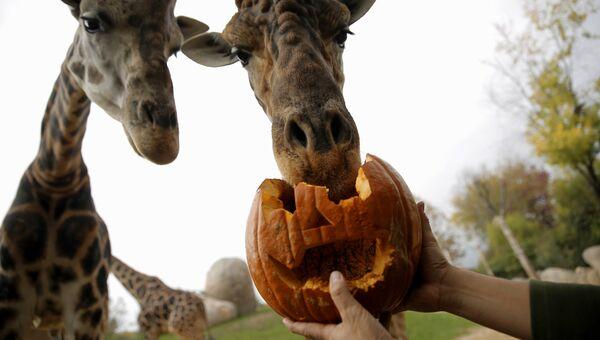Жирафы в зоопарке Zoom Torino в Италии. Хэллоуин в зоопарках мира