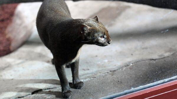 Шестилетняя самка ягуарунди в Московском зоопарке