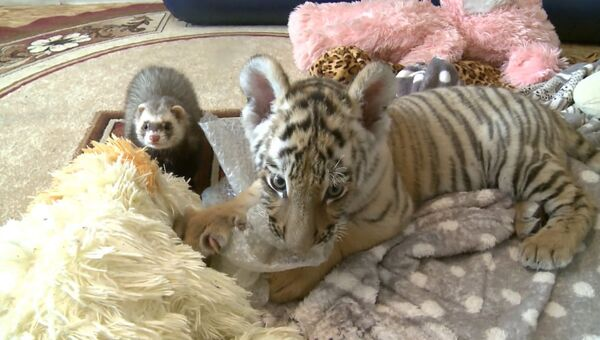 Рокки для Шерхана: как сын тигра Амура подружился с хорьком