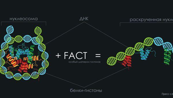 Белковая молекула FACT, помогающая клетке «прочитать» свою ДНК