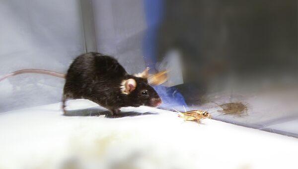 Запустив программу охоты в мозге крысы, ученые превратили ее в агрессивного хищника