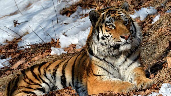 Экологи: на территории ЕАО обитают 11 амурских тигров