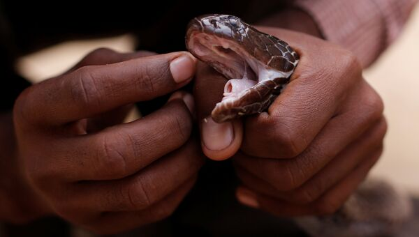 Заклинатель змей  очищает глаза его змеи в поселении заклинателей змей Jogi Dera в штате Уттар-Прадеш, Индия
