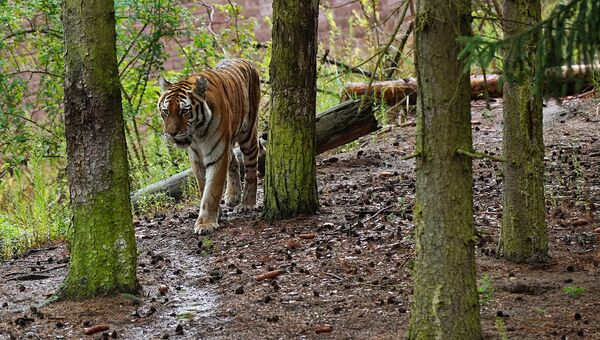 Амурских тигров Владика и Филиппу выпустят в дикую природу в апреле