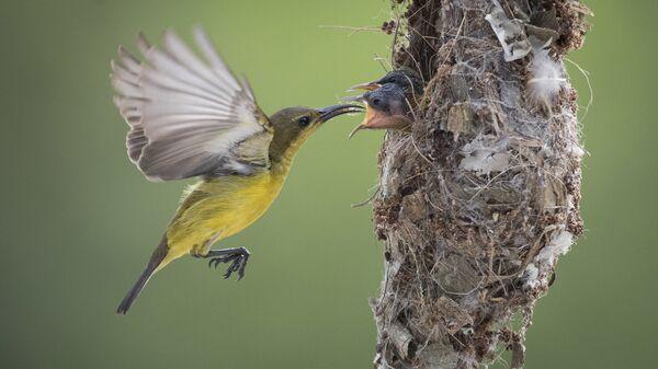 Нектарница кормит двух птенцов