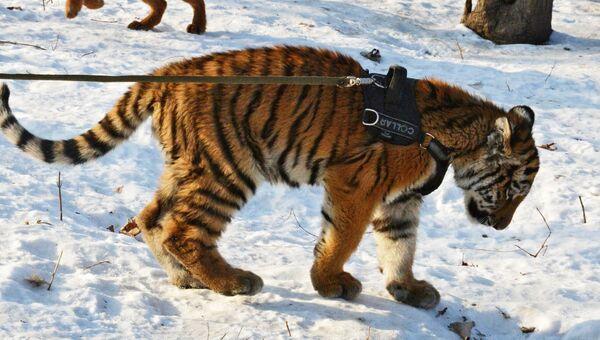 Тигренок Шерхан в Приморском сафари-парке играет с красным волчонком