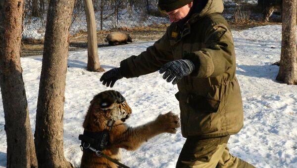 Тигренок Шерхан в Приморском сафари-парке играет с сотрудником парка