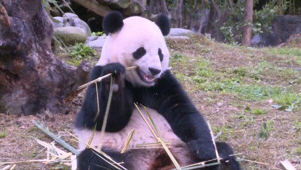 Переехавшая из США в Китай панда Бао Бао полакомилась бамбуком