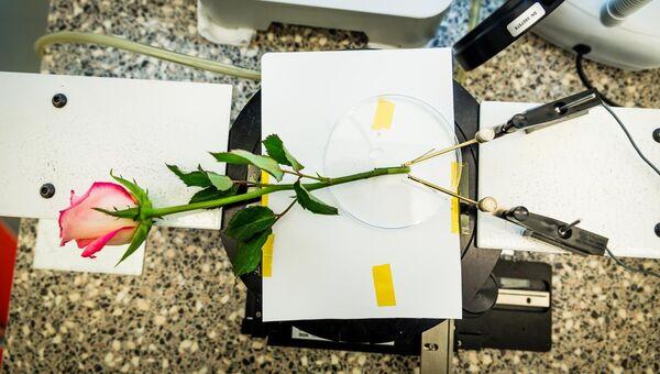 Роза, превращенная в живой конденсатор