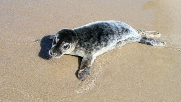 Детеныш серого длинномордого тюленя