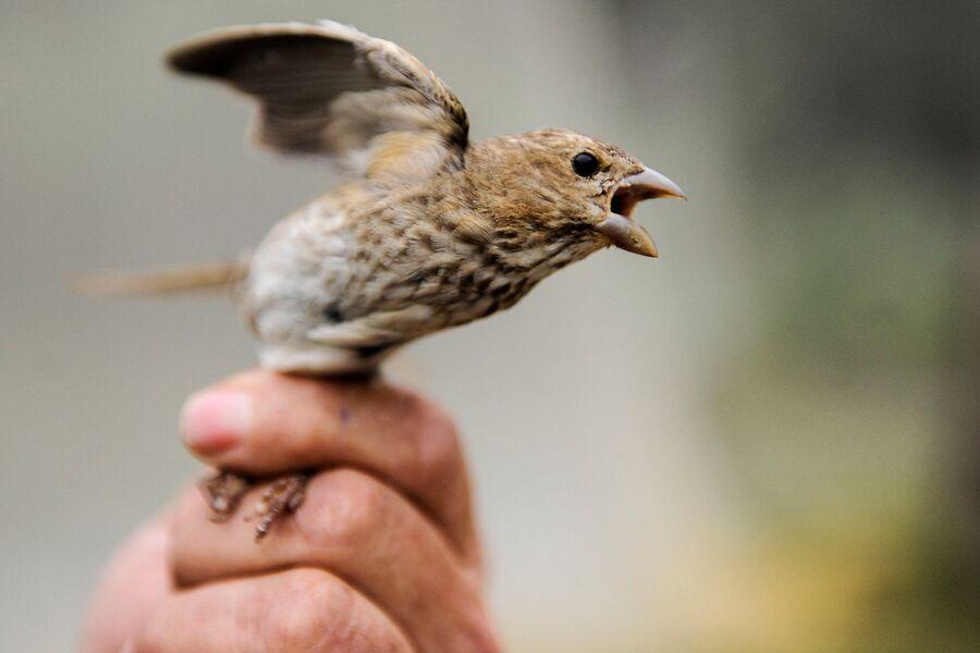 Птица чечевица перед окольцовыванием в руках сотрудника орнитологической станции Фрингилла на Куршской косе