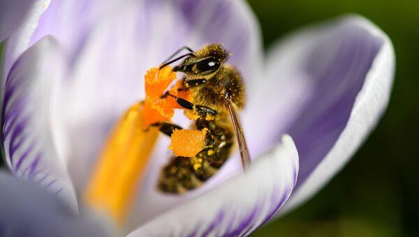 Пчела внутри цветка, Германия