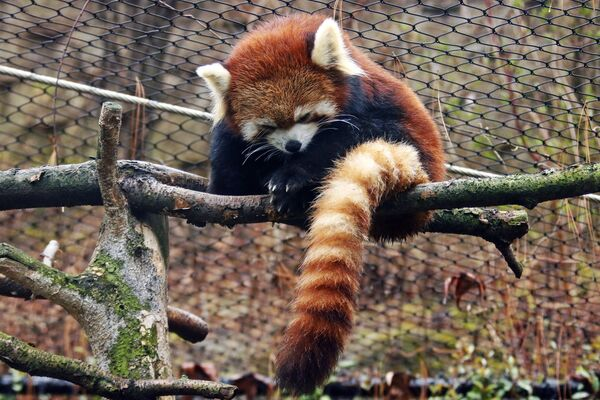 Красная панда сидит на ветке в Питтсбургском зоопарке