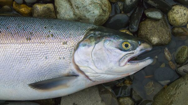 Свежий лосось