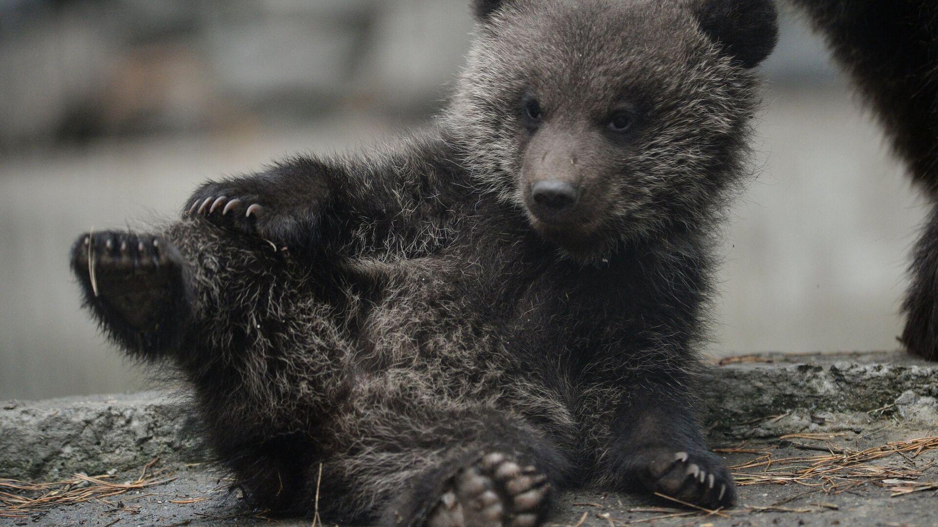 Бурый медвежонок, родившийся в январе у медведей Вали и Лехи, в вольере Новосибирского зоопарка - РИА Новости, 1920, 02.10.2020