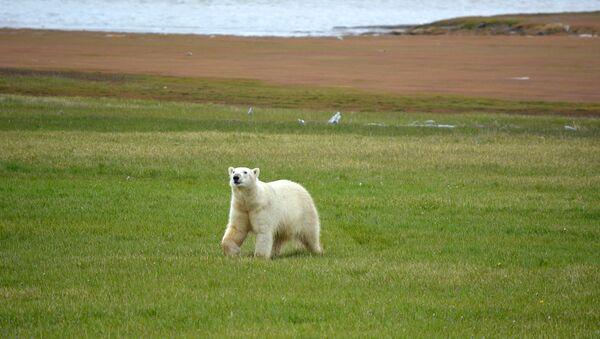 Белый медведь на побережье Якутии