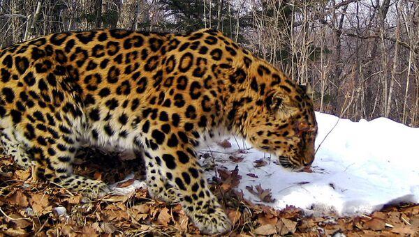 Дальневосточный леопард снова вышел к людям