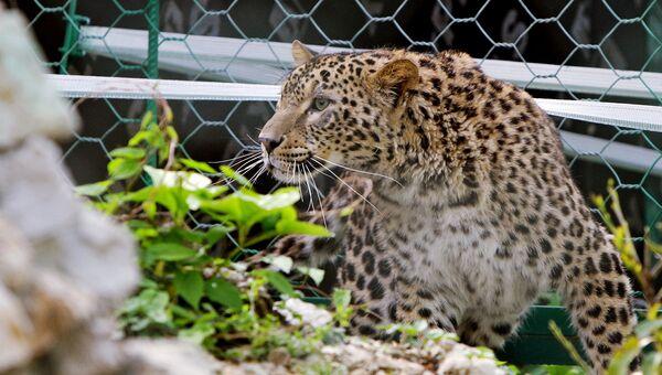 В Республике Дагестан будет реализована программа восстановления переднеазиатского леопарда