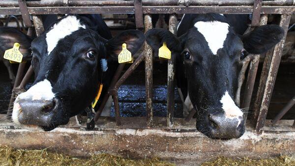 Коровы. Архивное фото