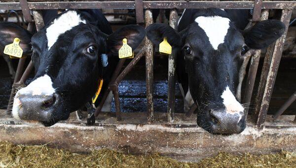 Племенные коровы на дойке. Архивное фото