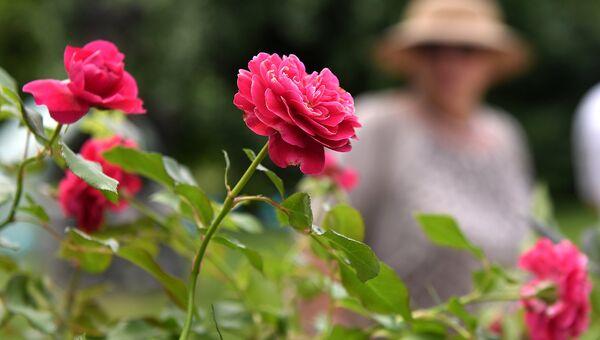 Розы. Архивное фото