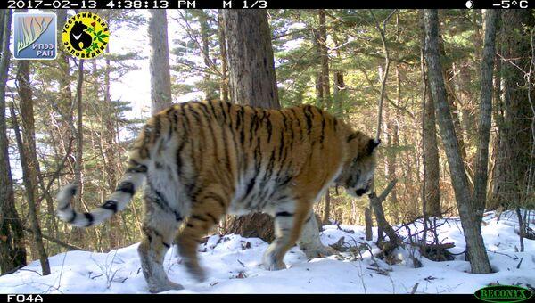 Тигрица Серьга, впервые отловленная в Уссурийском заповеднике в 2008 году