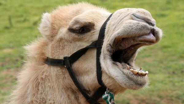 Верблюд. Архивное фото