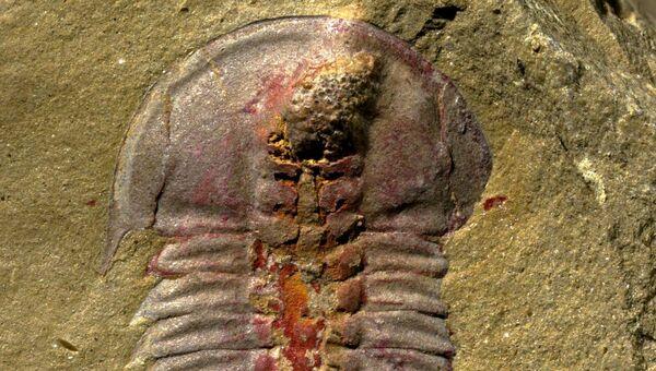 Трилобит Palaeolenus lantenoisi, предположительно первый обладатель настоящей пищеварительной системы