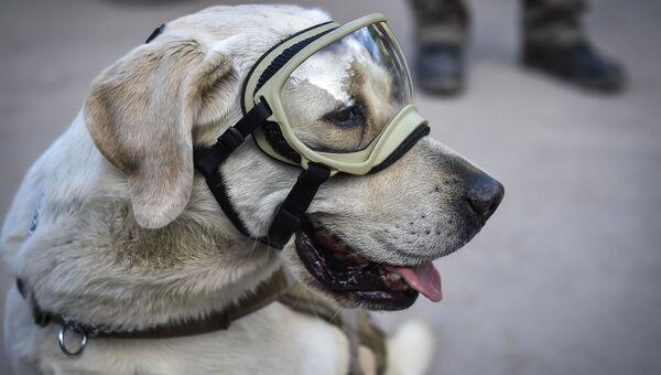 Собака-спасатель по кличке Фрида. Архивное фото