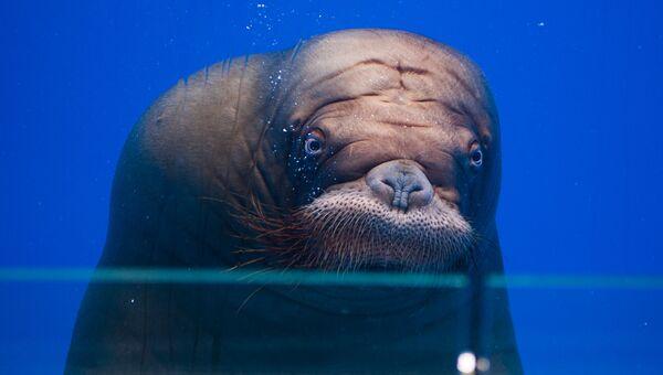 Морж Миша в Приморском океанариуме. Архивное фото