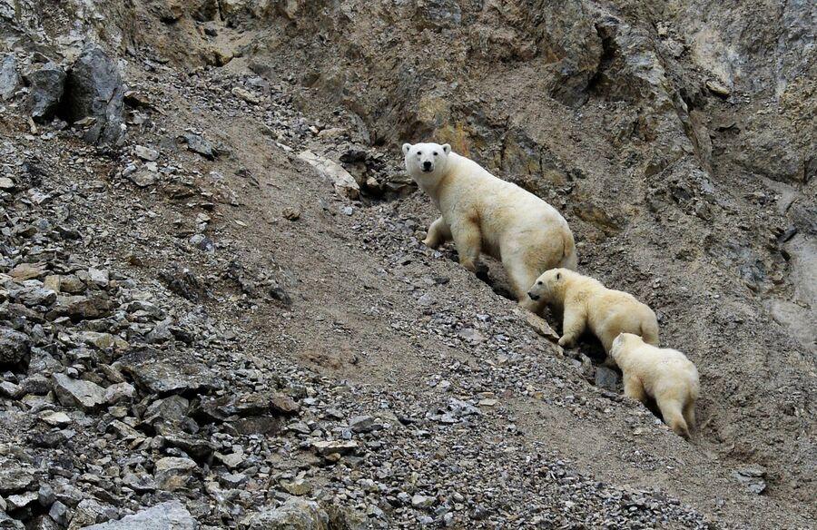 Белая медведица с медвежатами в Чукотском автономном округе