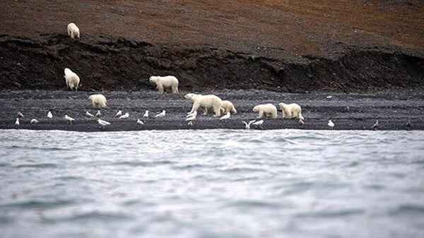 Скопление белых медведей на Чукотке