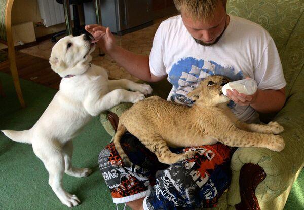 Ветеринар зоопарка Виктор Агафонов с маленькой львицей Астрой и щенком среднеазиатской овчарки по кличке Эльза