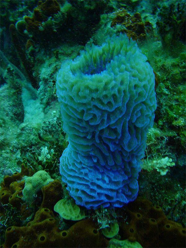 Голубая морская губка