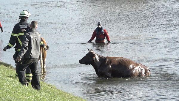 Пожарные спасают корову из реки Эльба под Гамбургом, Германия. 29 октября 2017 года