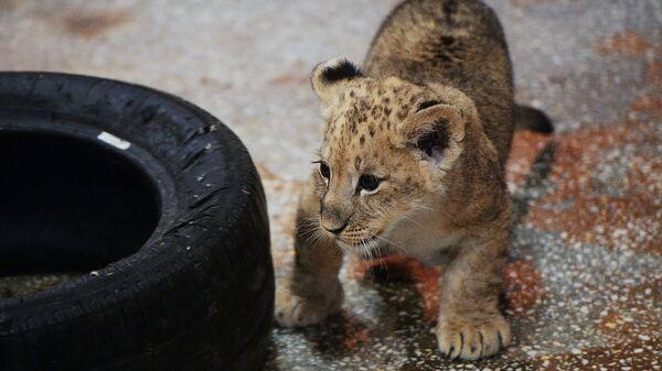 Один из трех львят, родившихся у пары африканских львов Эрни и Эммы, в Екатеринбургском зоопарке