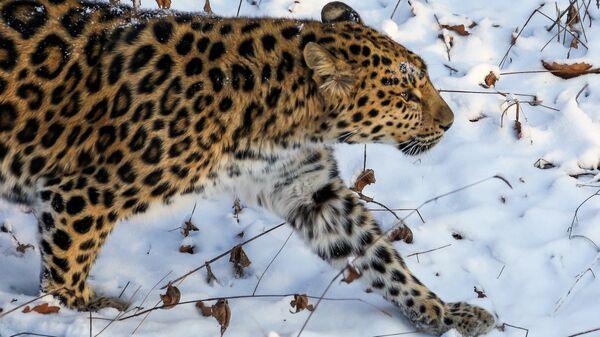 Самка дальневосточного леопарда. Архивное фото