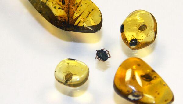 Клещи, найденные в кусочках янтаря из Мьянмы