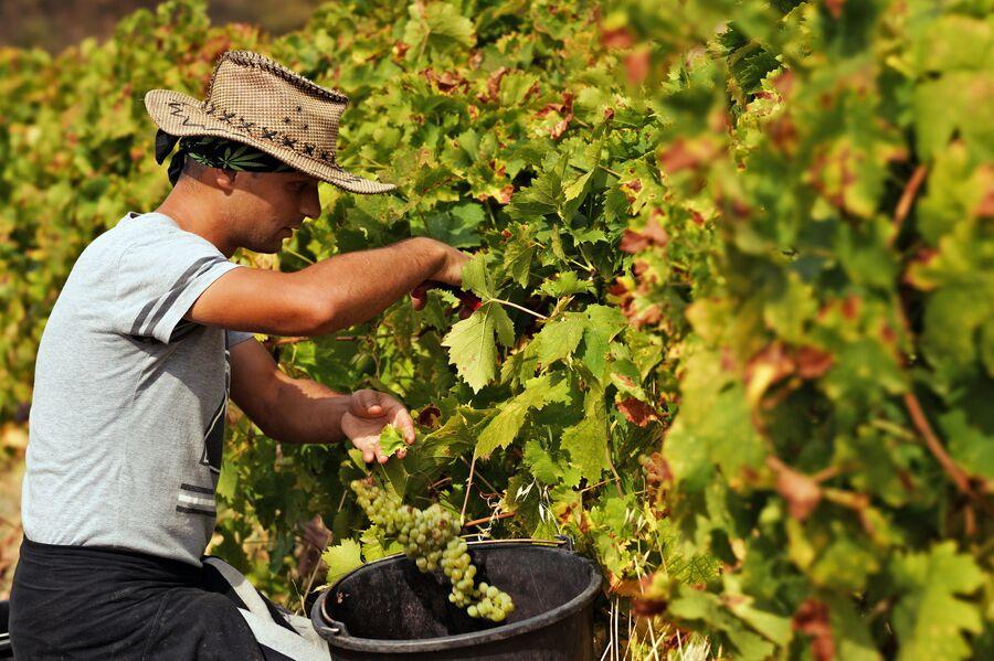 Трудовые туристы собирают урожай на виноградниках ФГУП ПАО Массандра
