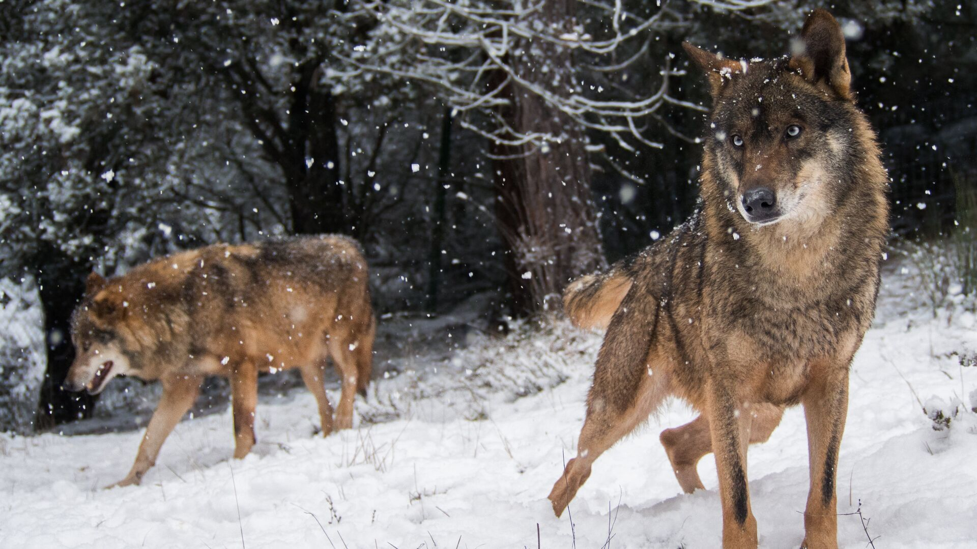 Волки в зимнем лесу - РИА Новости, 1920, 07.01.2021