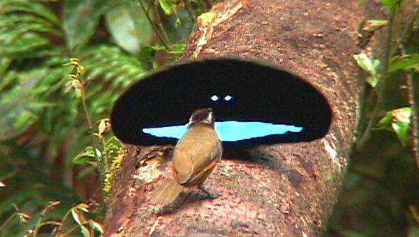 Самец и самка чудной райской птицы