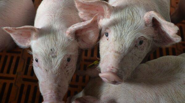 Площадка доращивания поросят в Родниковском свинокомплексе